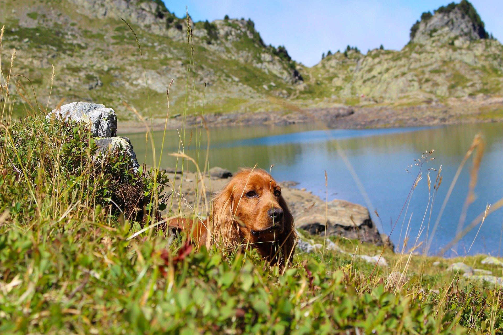 Anglický kokeršpaniel je plemeno poľovníckeho psa určené na plašenie vtákov. Je veselý a hravý.