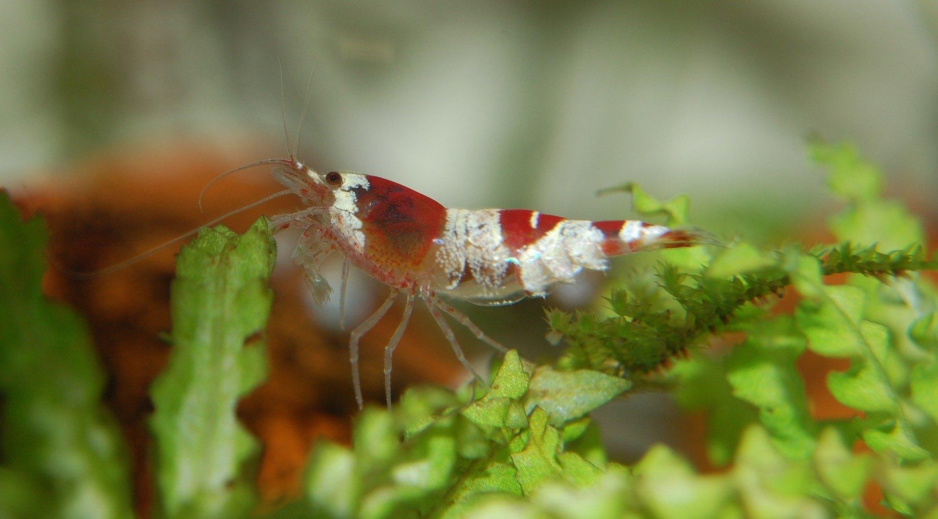 Čo jedia krevety, môžu žiť v súlade s rybami?