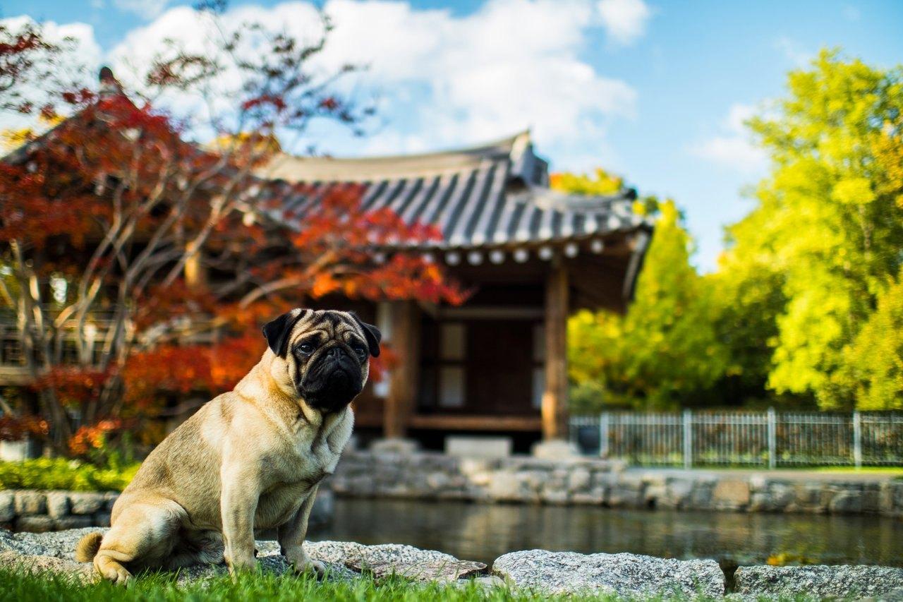 Mops je malý pes s obrovským a láskavým srdcom.
