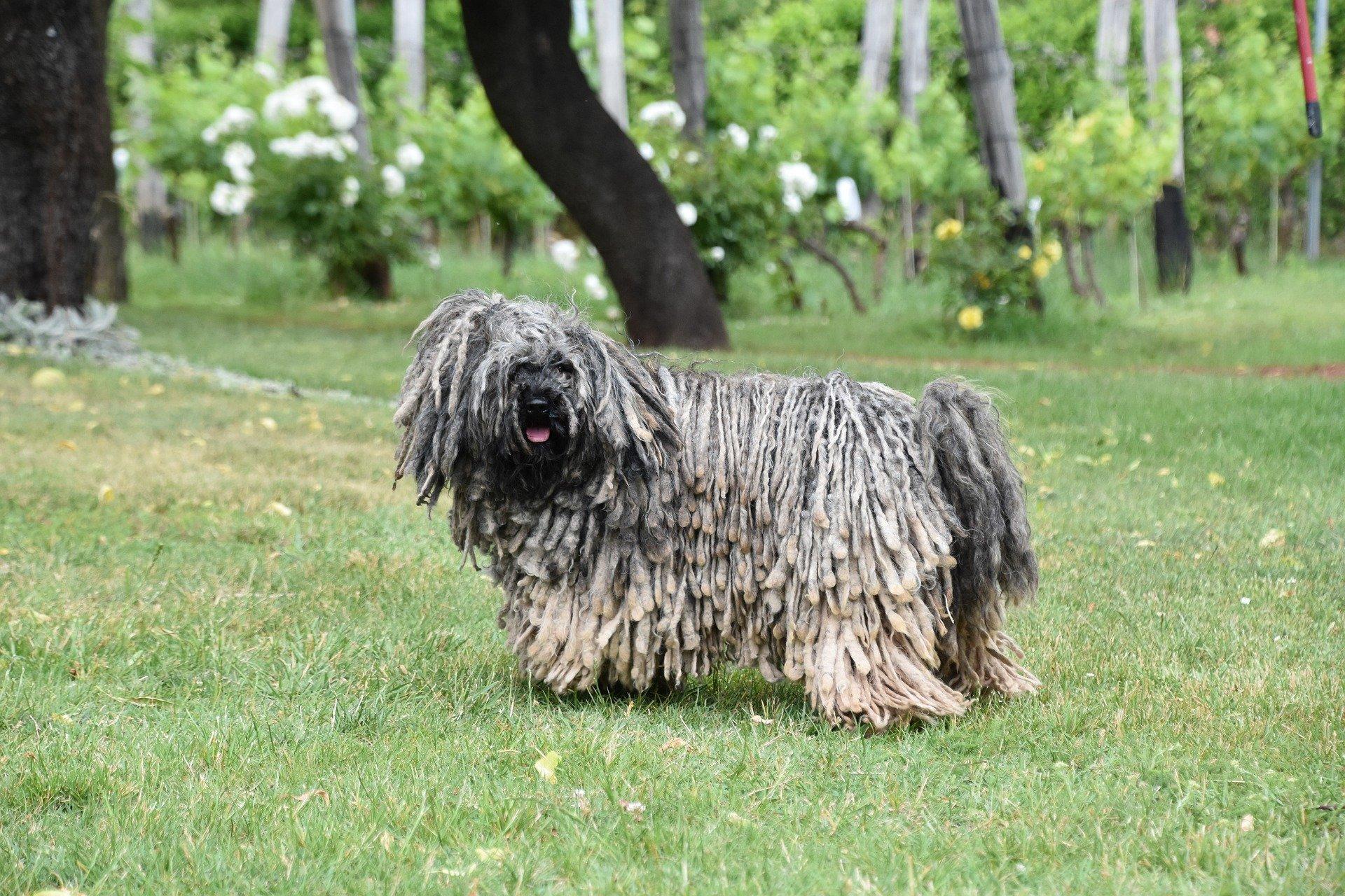 Komondor je maďarský ovčiak, ktorý má namiesto bežnej srsti dlhé šnúrky skrútenej srsti.