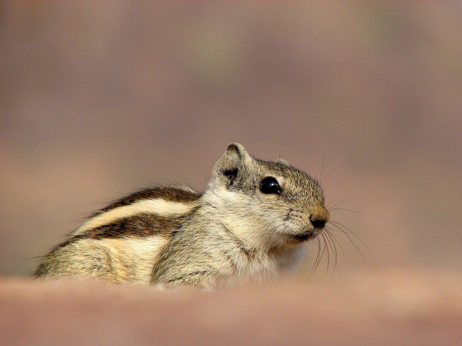 Veverička domáca je čoraz viac populárna.