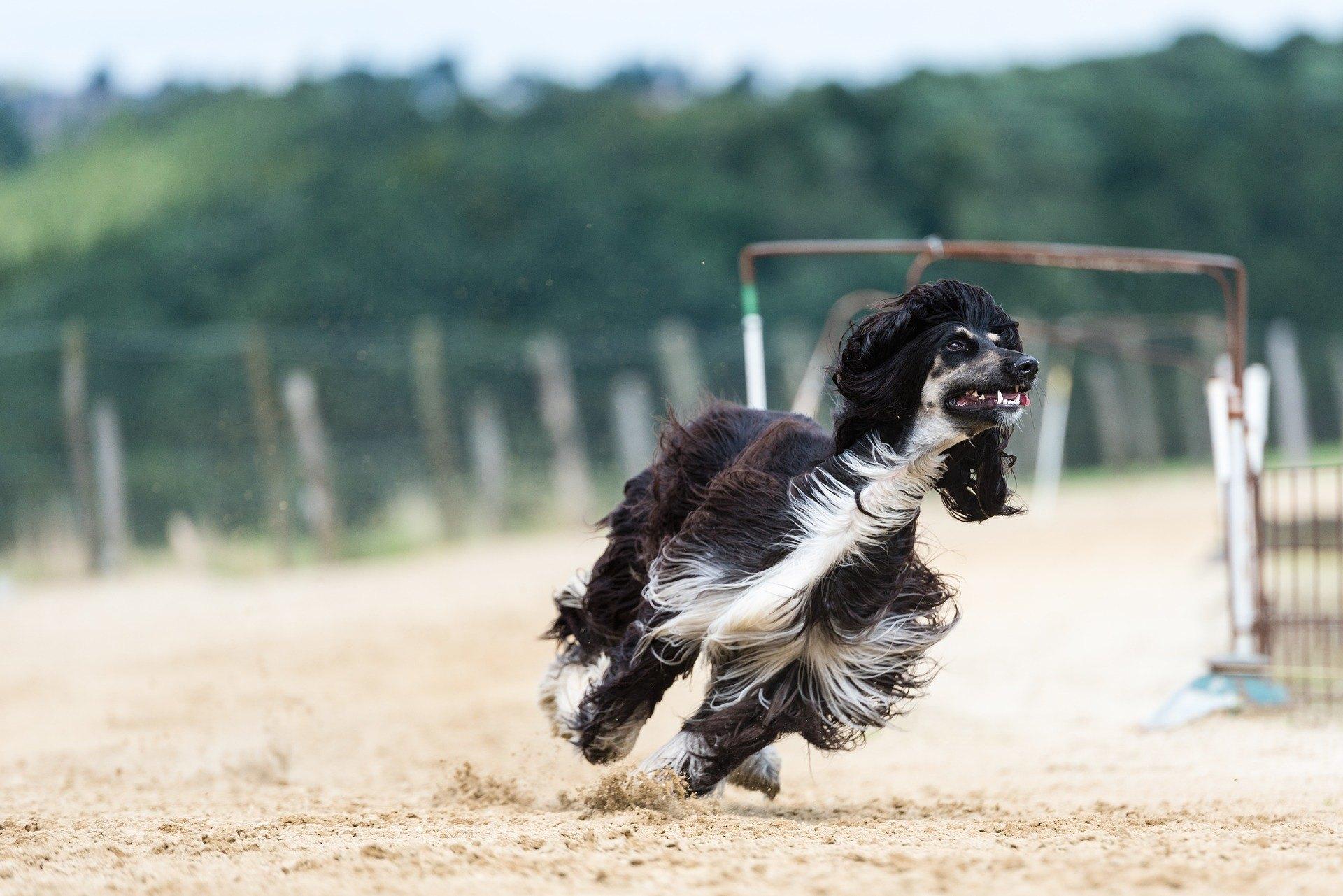 Afganský chrt je veľký pes originálneho vzhľadu. Je nezávislý a má rád fyzickú aktivitu.