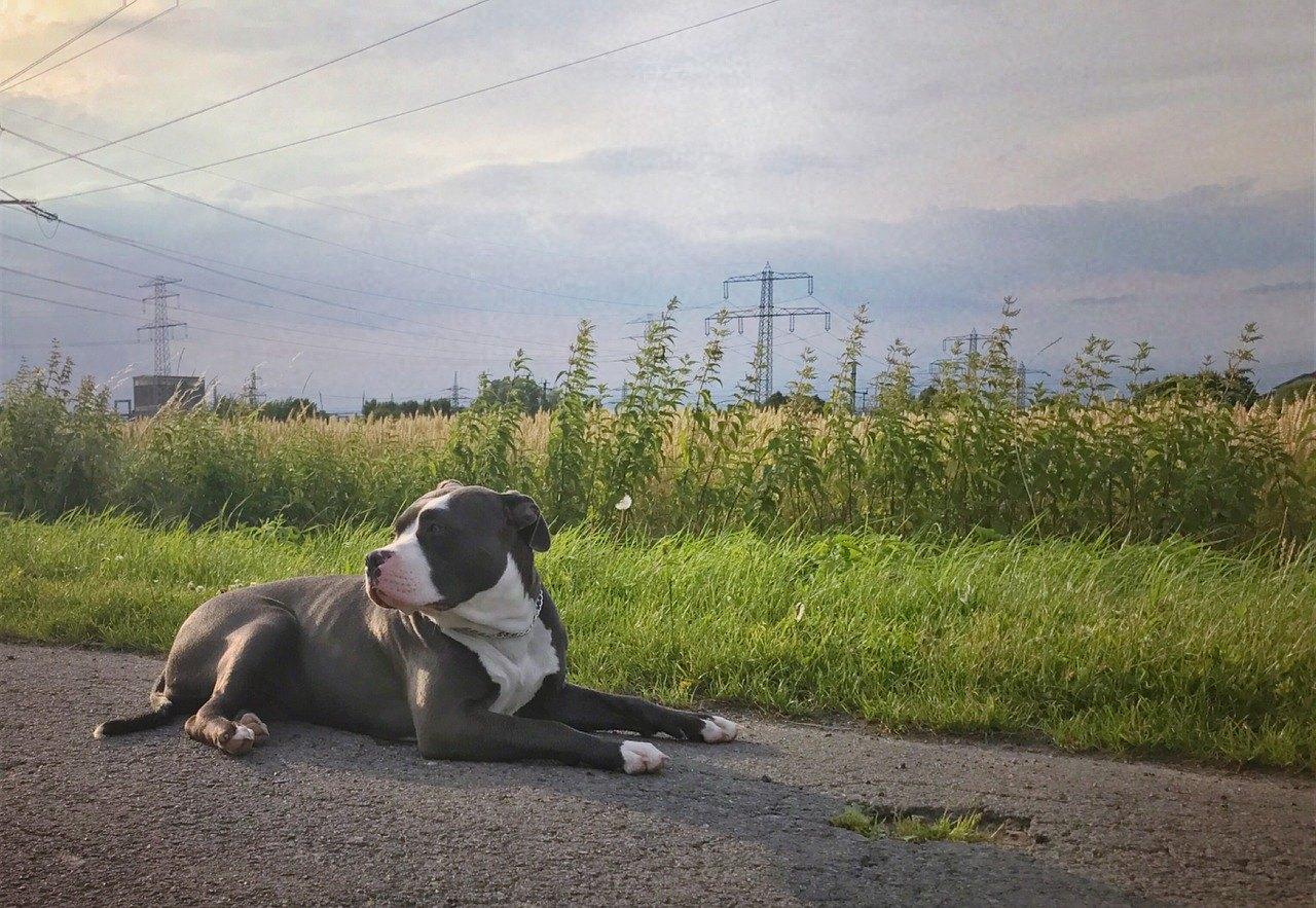 American Bully je drsne vyzerajúci pes. Je svalnatý, ale rodinný a pokojný.