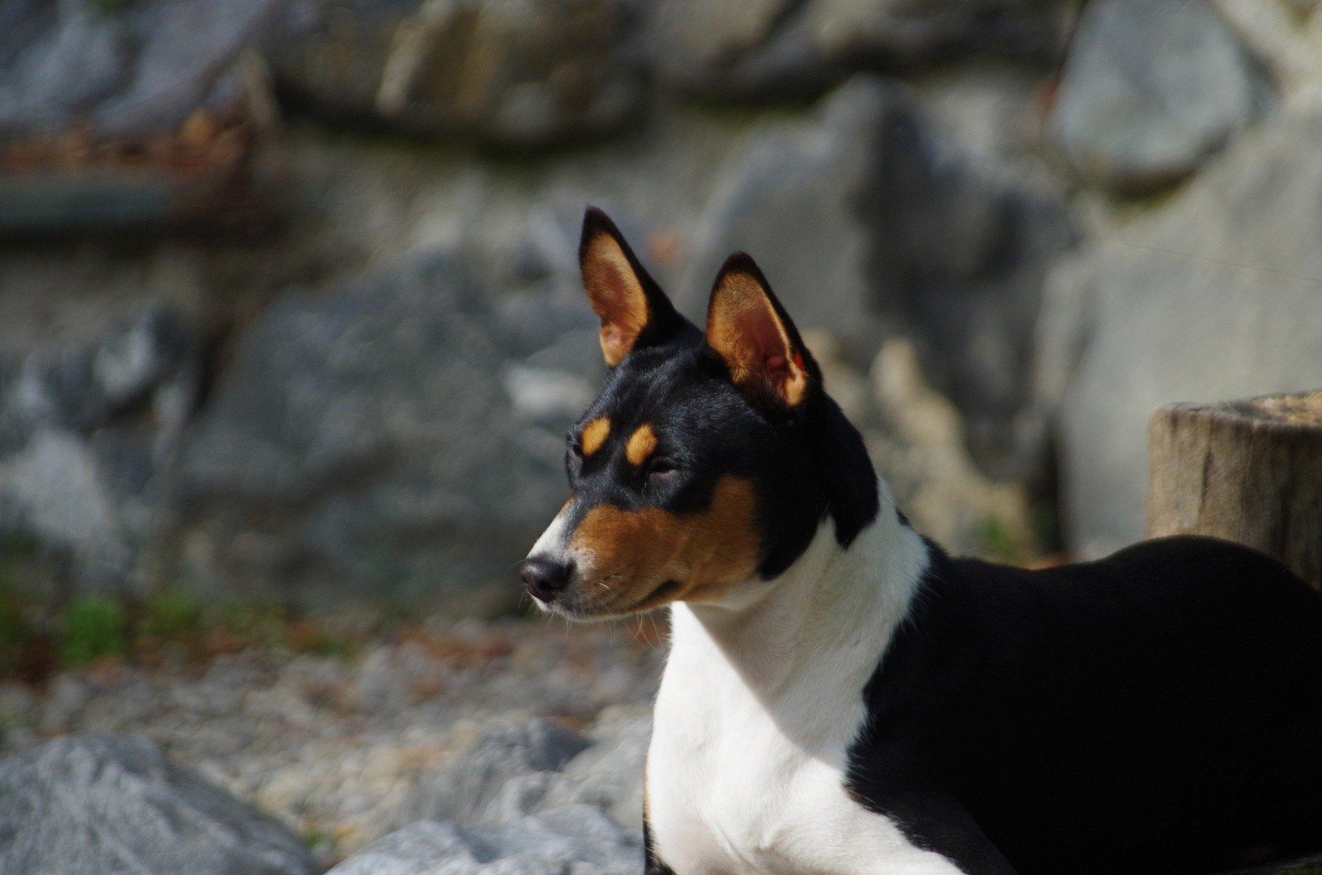 Basenji je pes pôvodom z Afriky. Má vysoko vyvinutý lovecký inštinkt. Je veľmi citlivý a rád sa hrá.