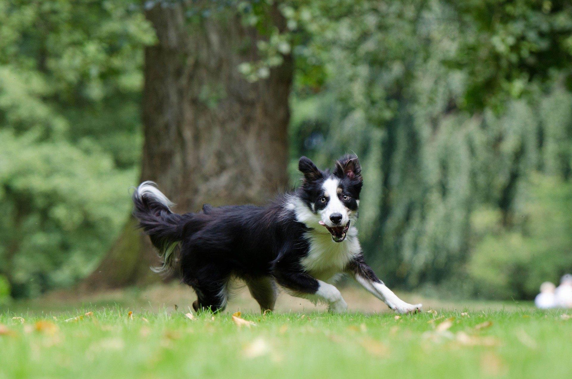 Borderská kólia je stredne veľký pes, ktorý je poslušný, múdry a ochotný spolupracovať. Má rád aktívny životný štýl.