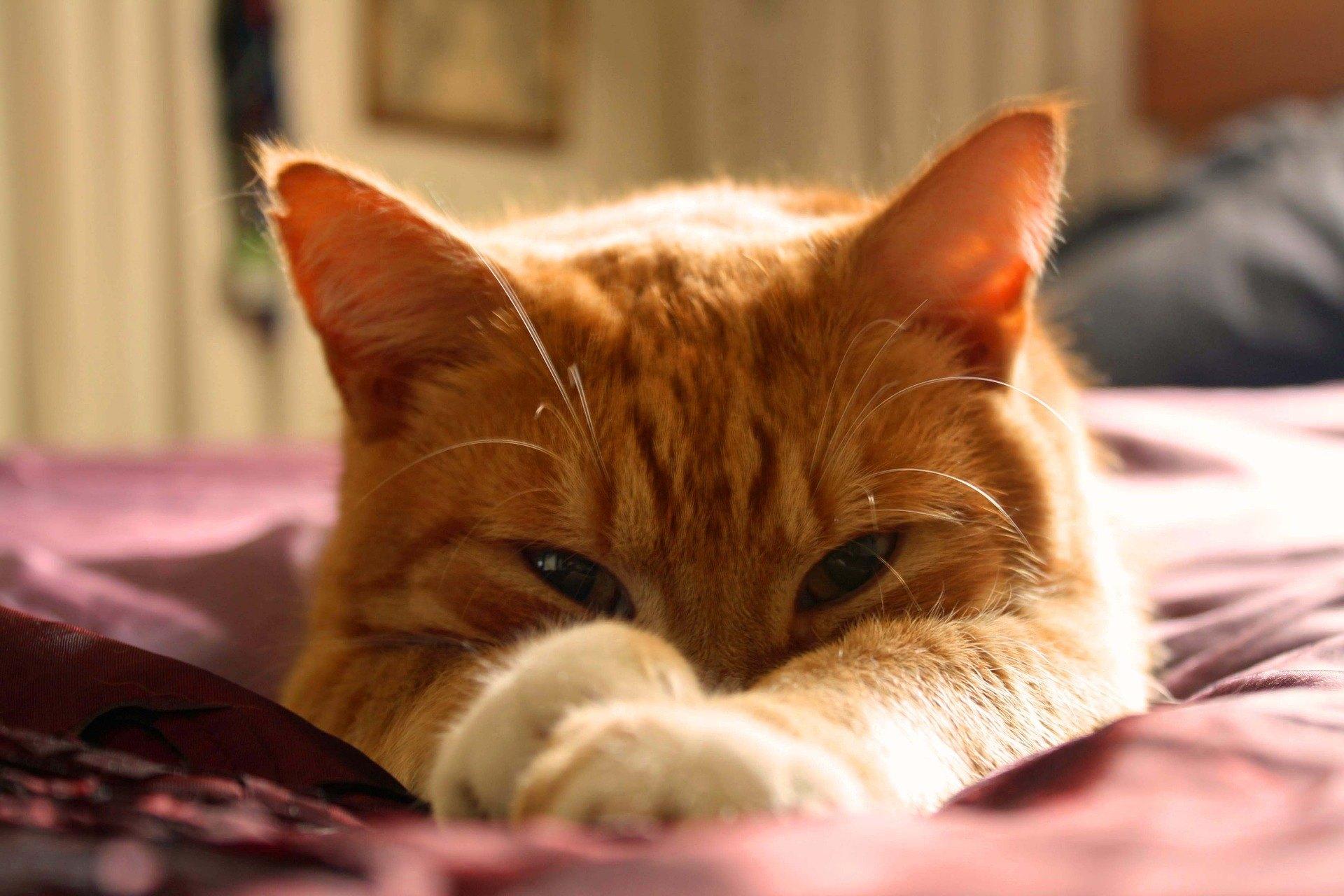 Lymfóm je jedným z najbežnejších druhov rakoviny u mačiek. Zistite, aké sú jeho príznaky a ako by sa malo liečiť.