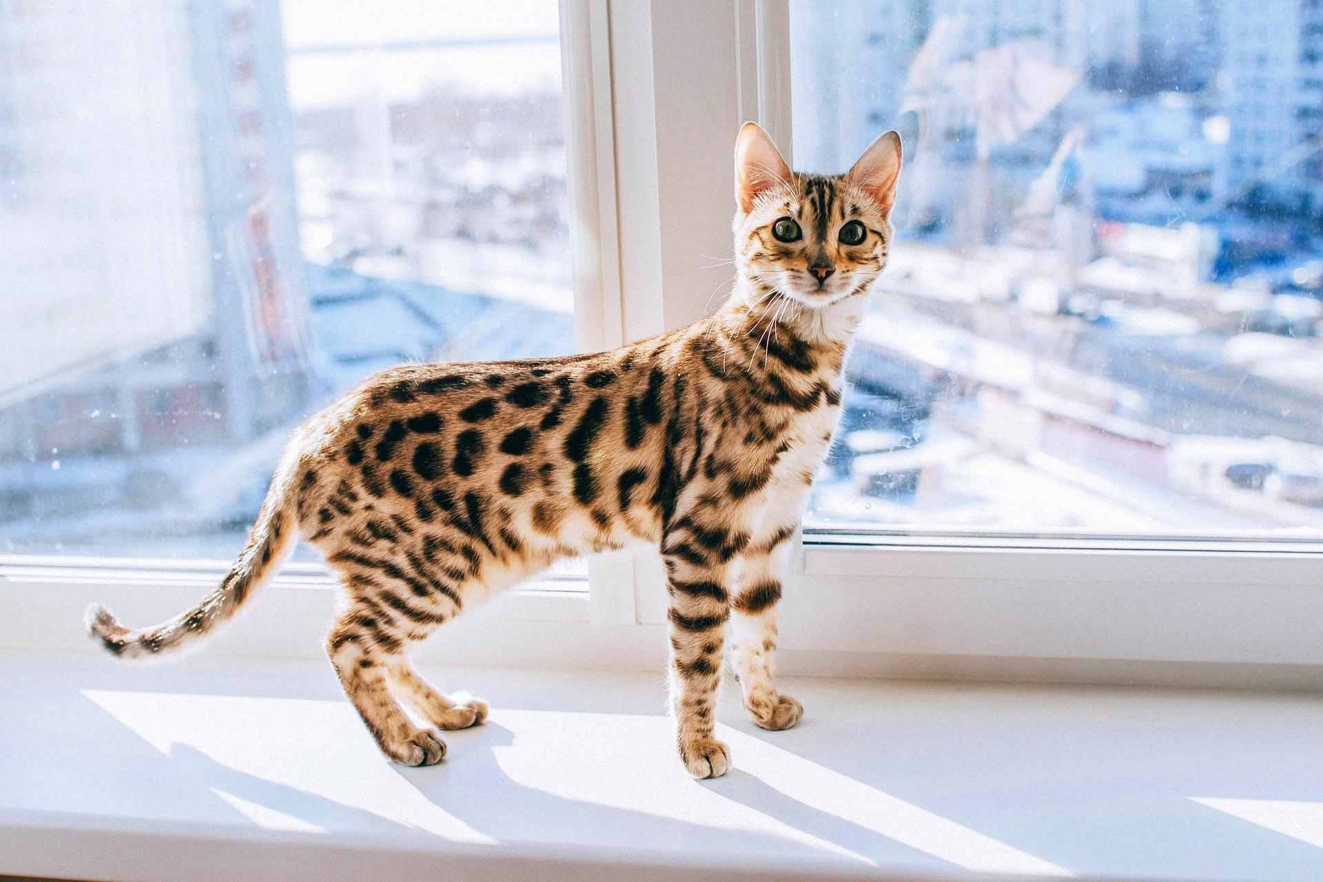 Bengálska mačka je kombináciou elegancie a ladnosti. Jej jedinečný vzhľad a veľké množstvo energie si zaslúžia pozornosť.