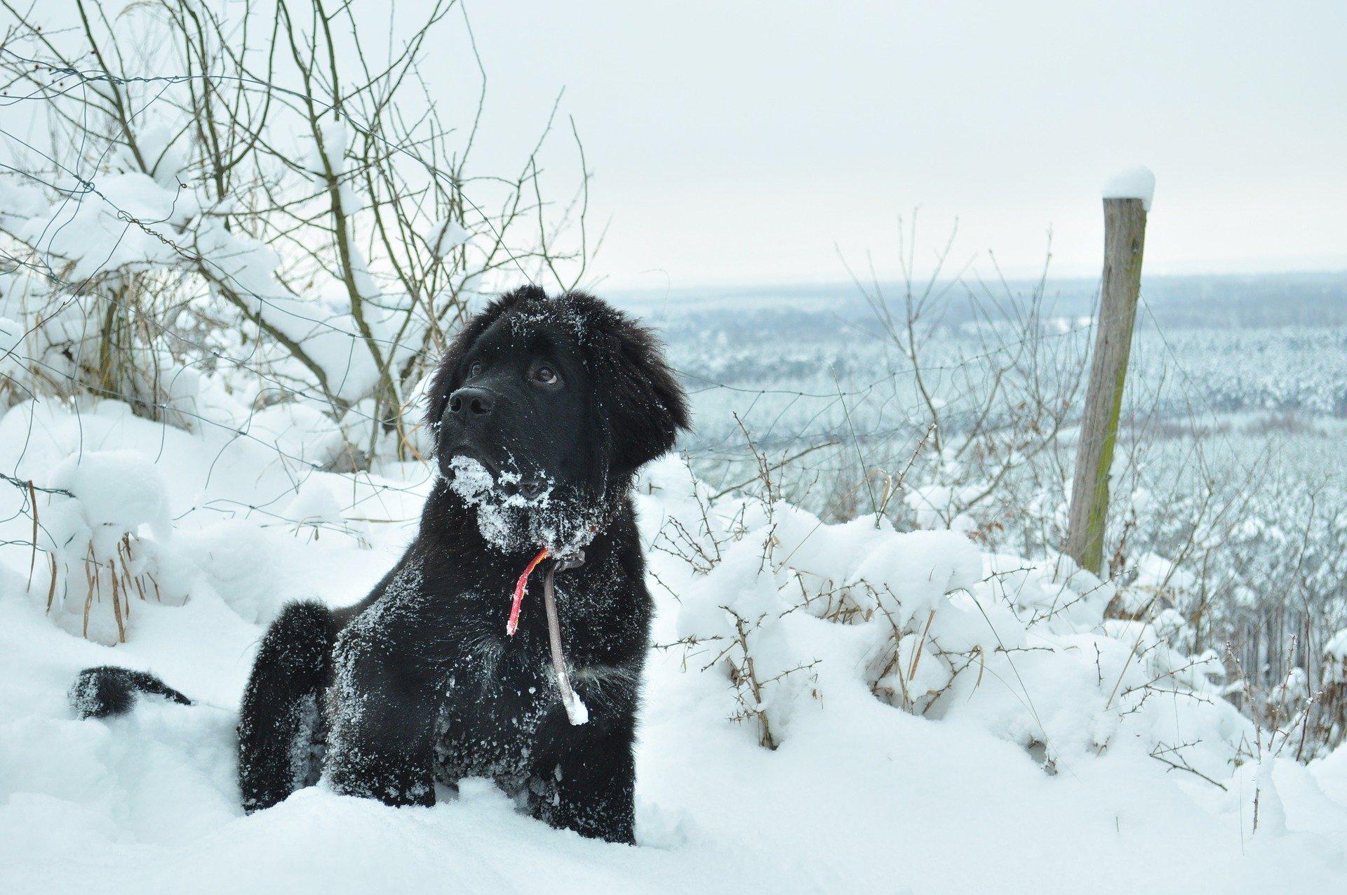 Novofunlandský pes je veľký pes mierneho temperamentu a vyrovnanej povahy. Má hustú a hustú srsť.