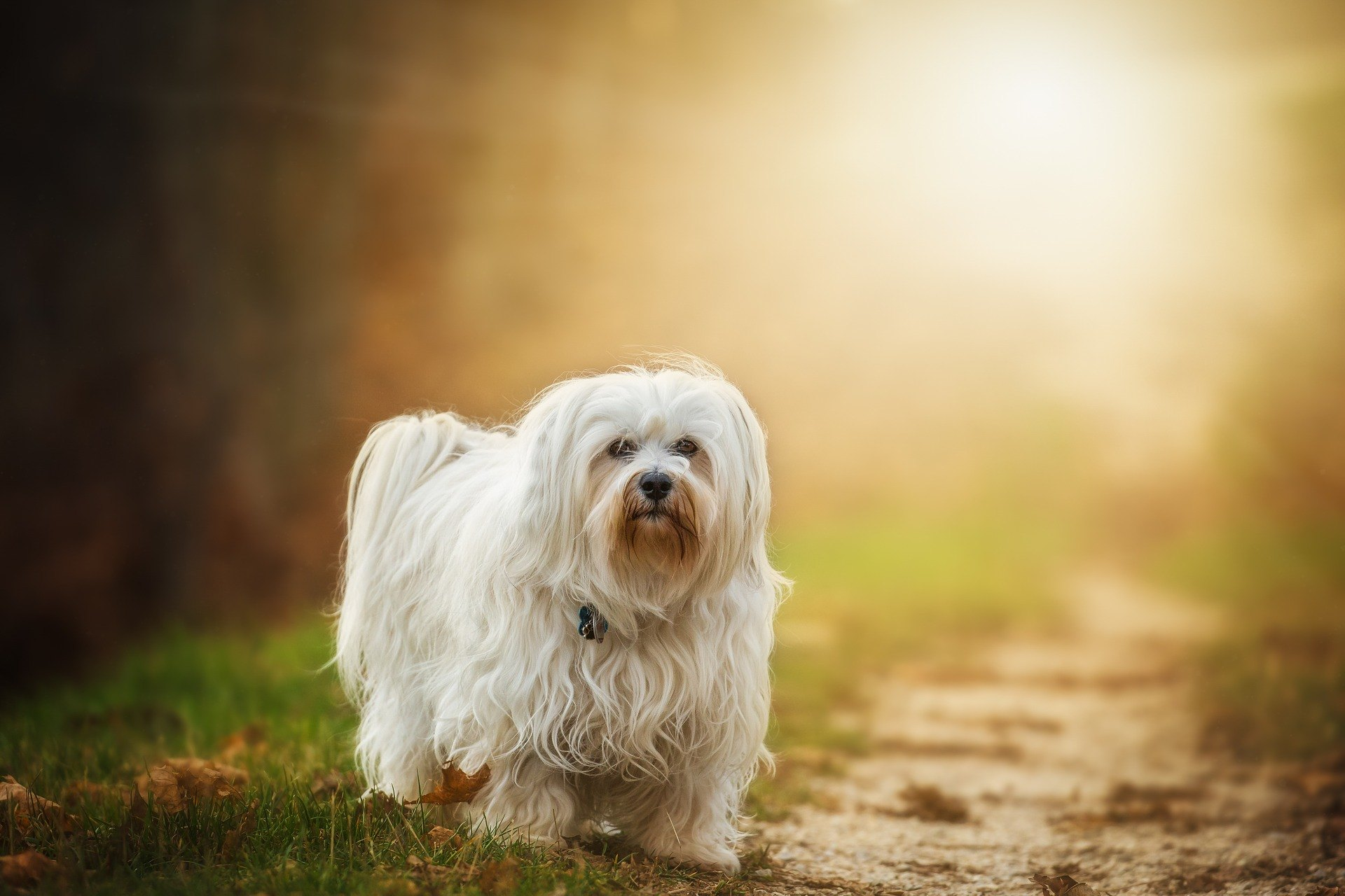 Havanský psík je spoločenský pes. Je mimoriadne prítulný, sympatický, veselý a energický. Hrá veľmi rád.
