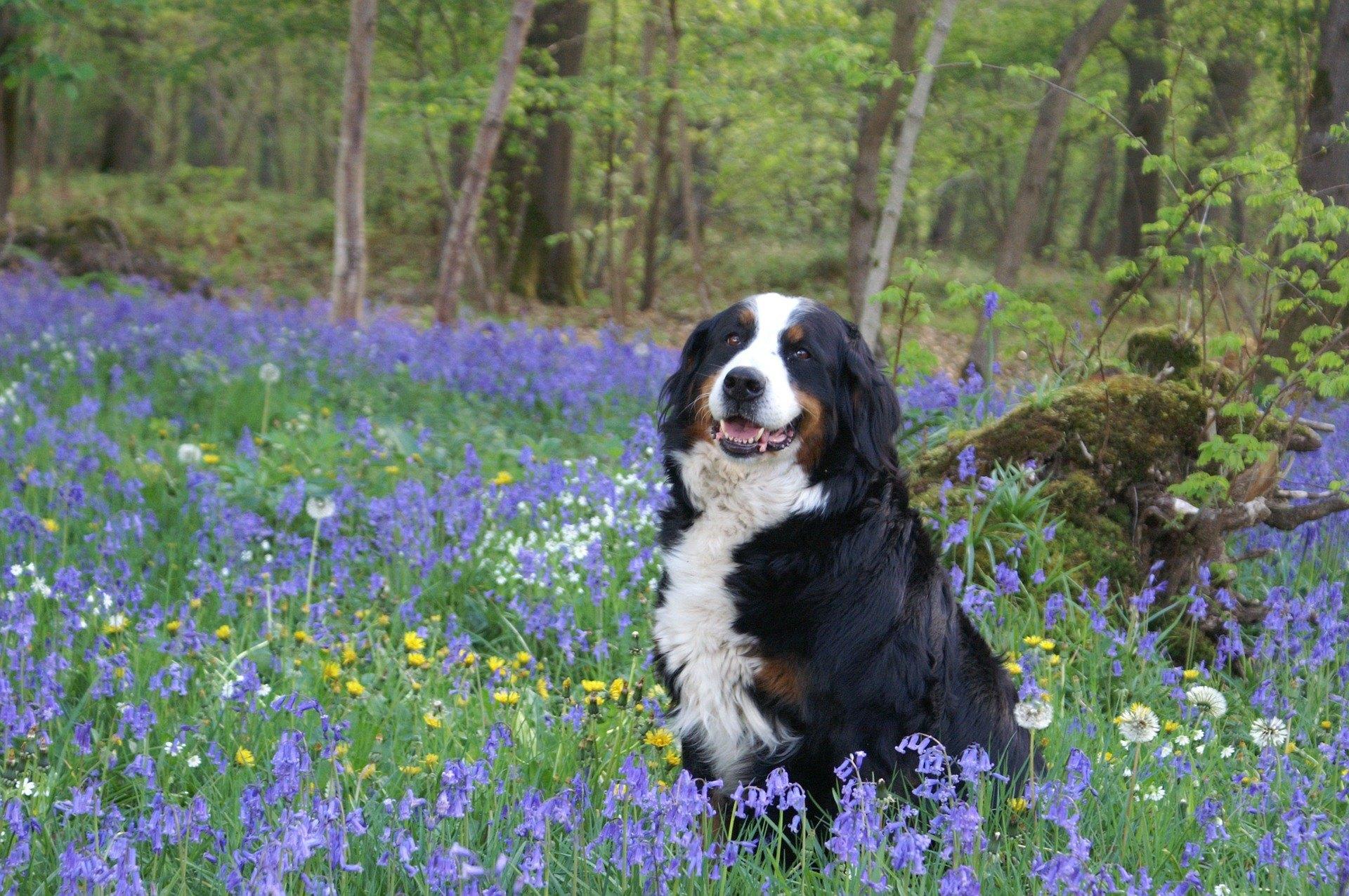 Bernský salašnícky pes kombinuje veľkú silu, pokoj, jemnosť a lásku k pohladeniu. Koľko rokov žije?