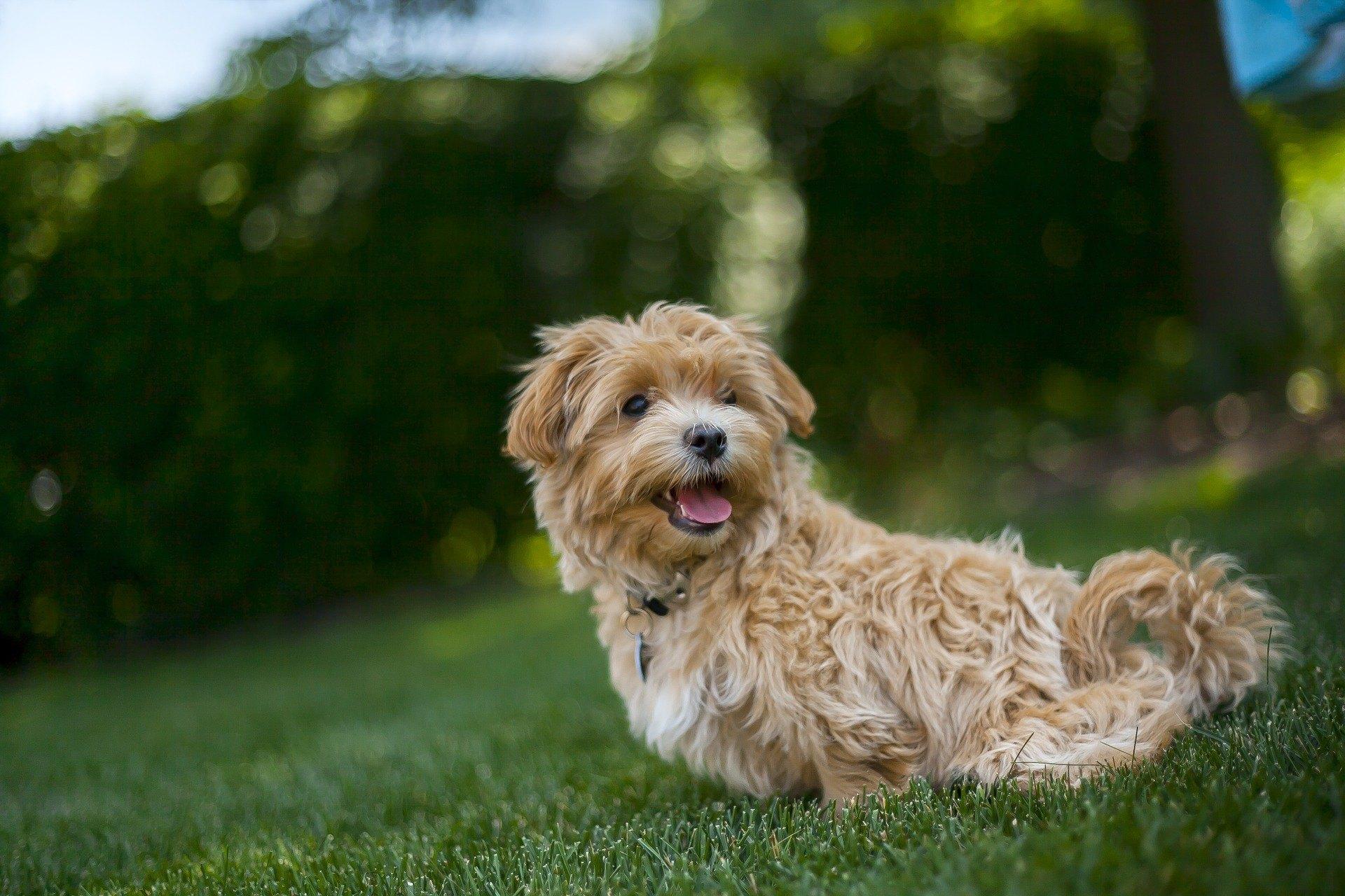 Maltipoo je pes, ktorý vyzerá ako maskot. Vyžaduje si náležitú starostlivosť, výchovu a ošetrenie.