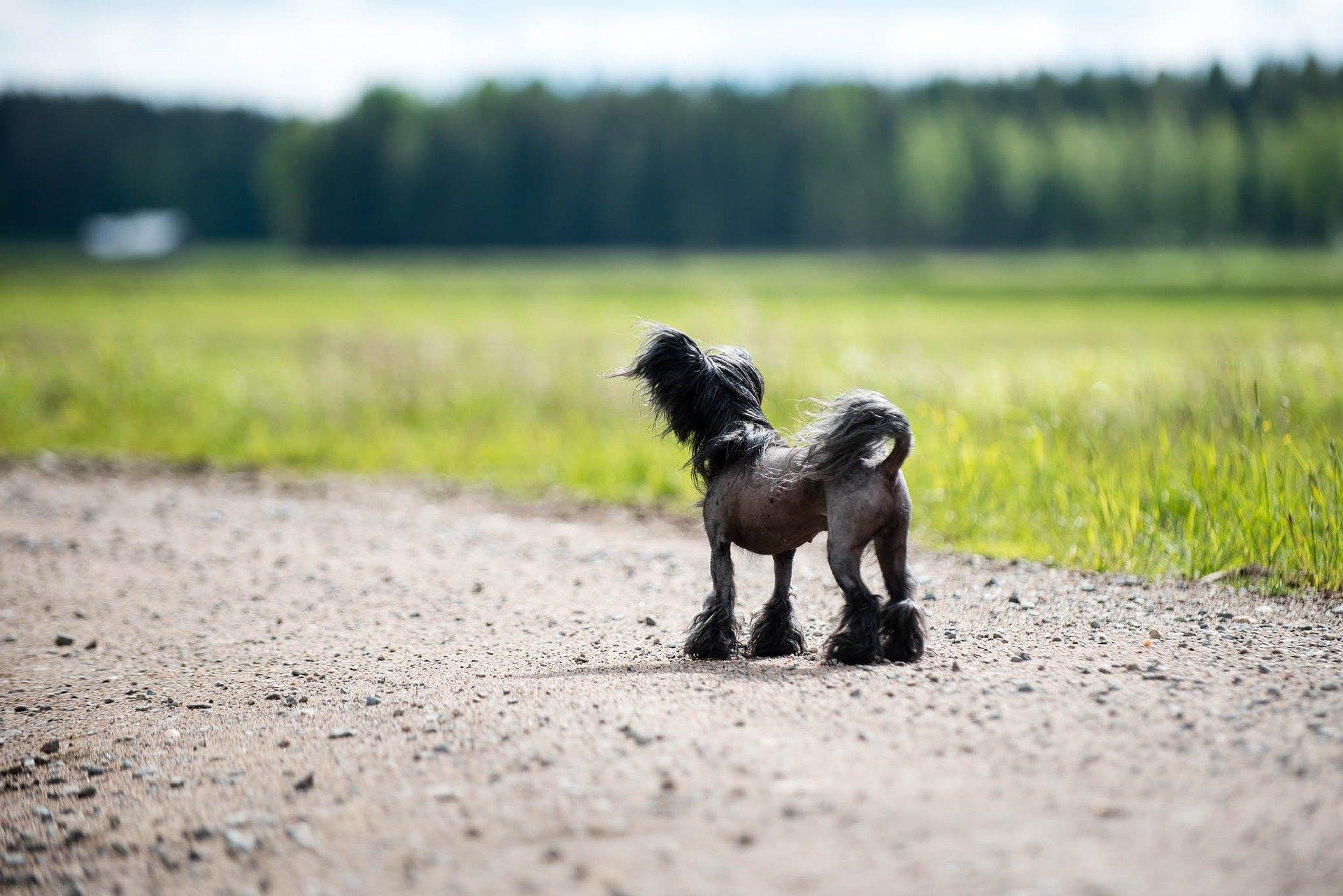 Čínsky chocholatý pes - najdôležitejšie informácie o plemene