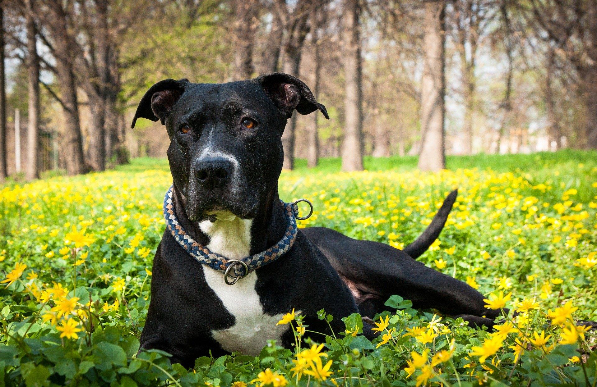 Americký pitbulteriér, napriek tomu, že sa používal na psie zápasy, sa vyznačuje veľkou citlivosťou a nehou.