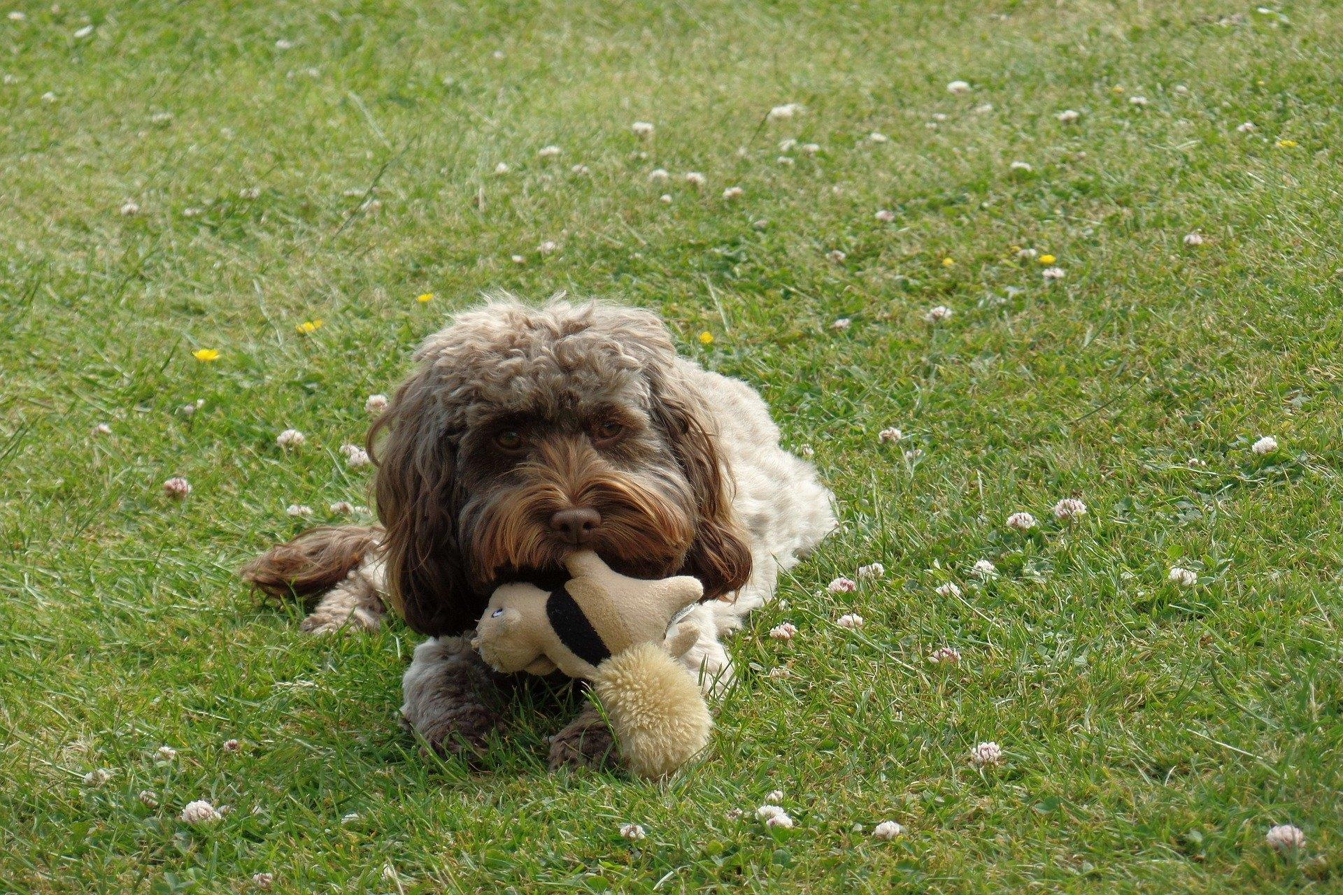 Cockapoo je kríženec kokršpaniela a pudla. Tieto psy sú radostné, inteligentné a vyzerajú roztomilo.