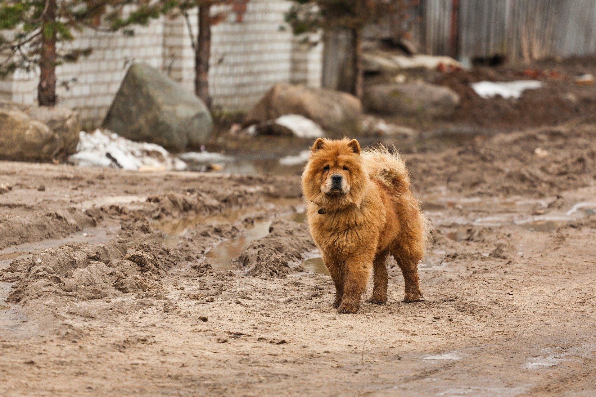 Čau-čau je psie plemeno pôvodom z Číny, ktoré sa vyznačuje nadýchanou srsťou a mierne modrým jazykom.