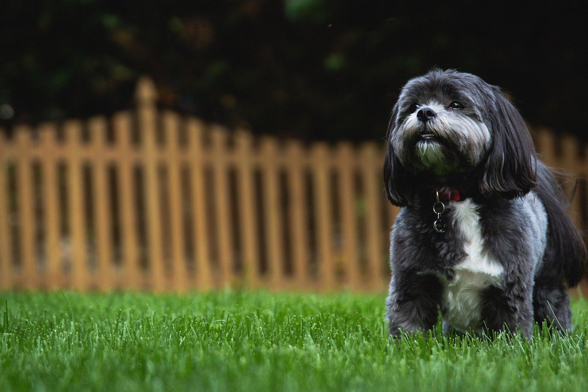 Shih tzu je malý pes, ale veľmi spoločenský, priateľský, s mimoriadne šťastnou povahou.
