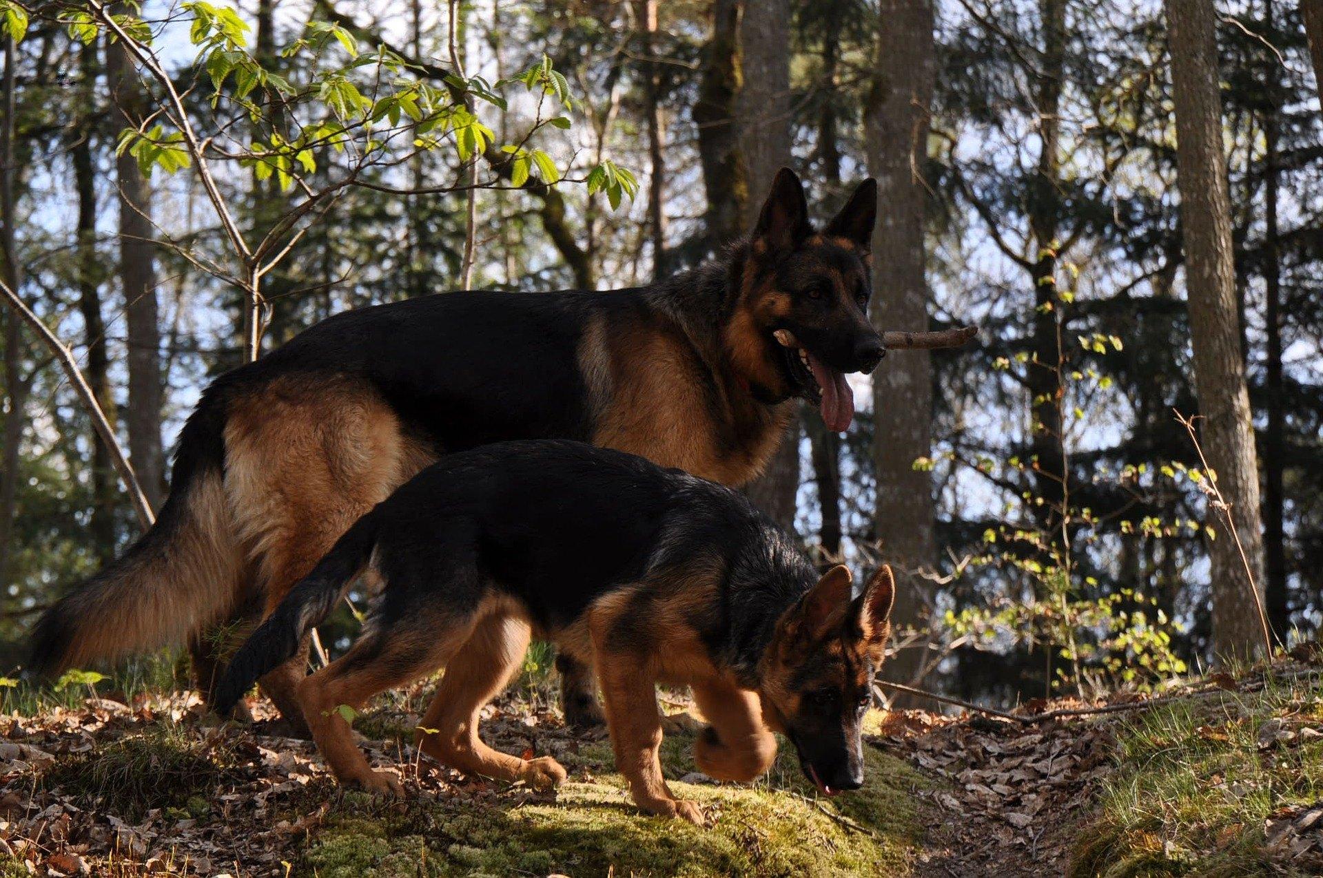 Nemecký ovčiak je jedným z najpopulárnejších plemien na svete. Sú to inteligentné, pohotové a priateľské psy.