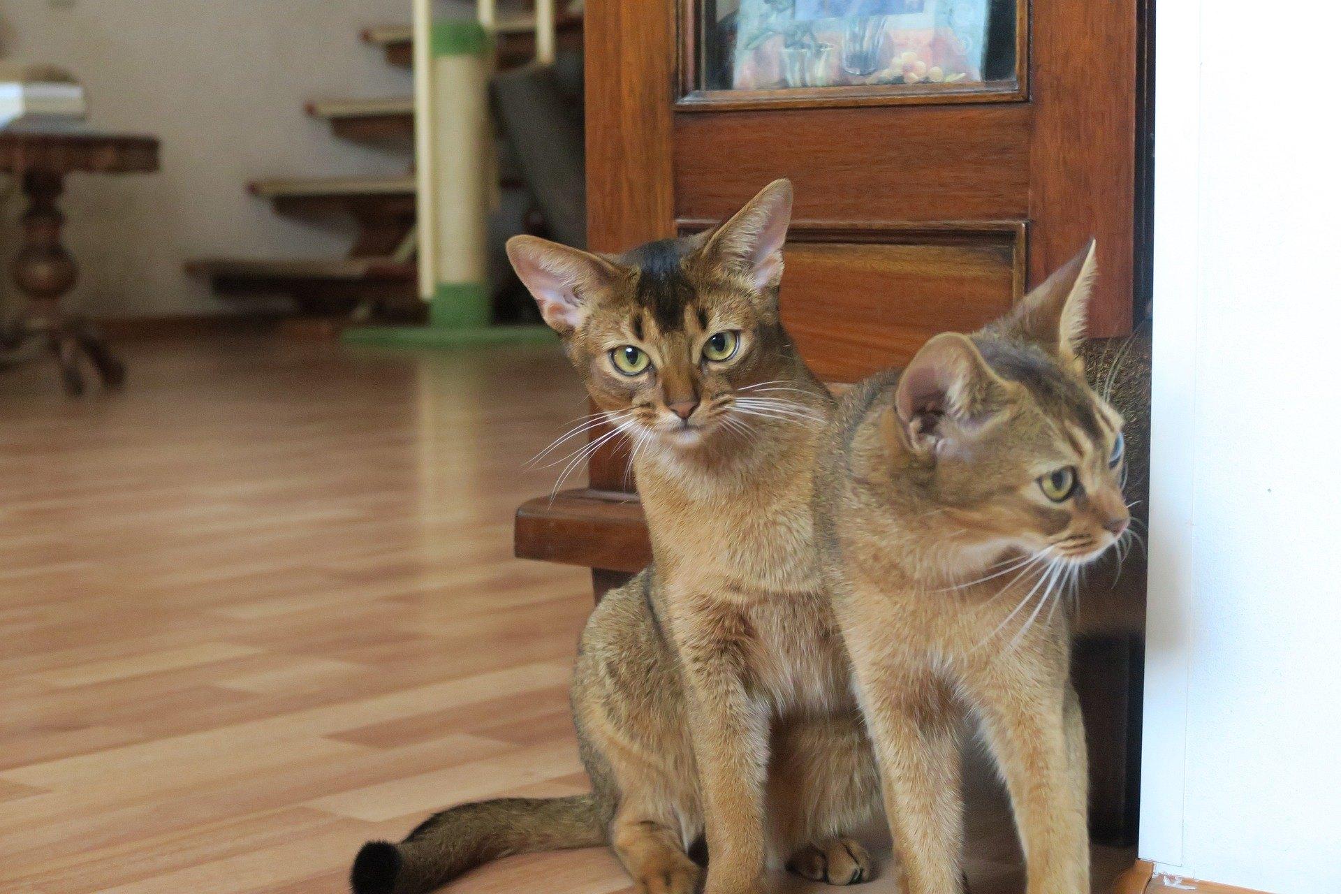 Abesínske mačky sú spoločenské a vyžadujú si veľkú pozornosť. Na to sa nesmie zabúdať pri výbere štvornohého priateľa.
