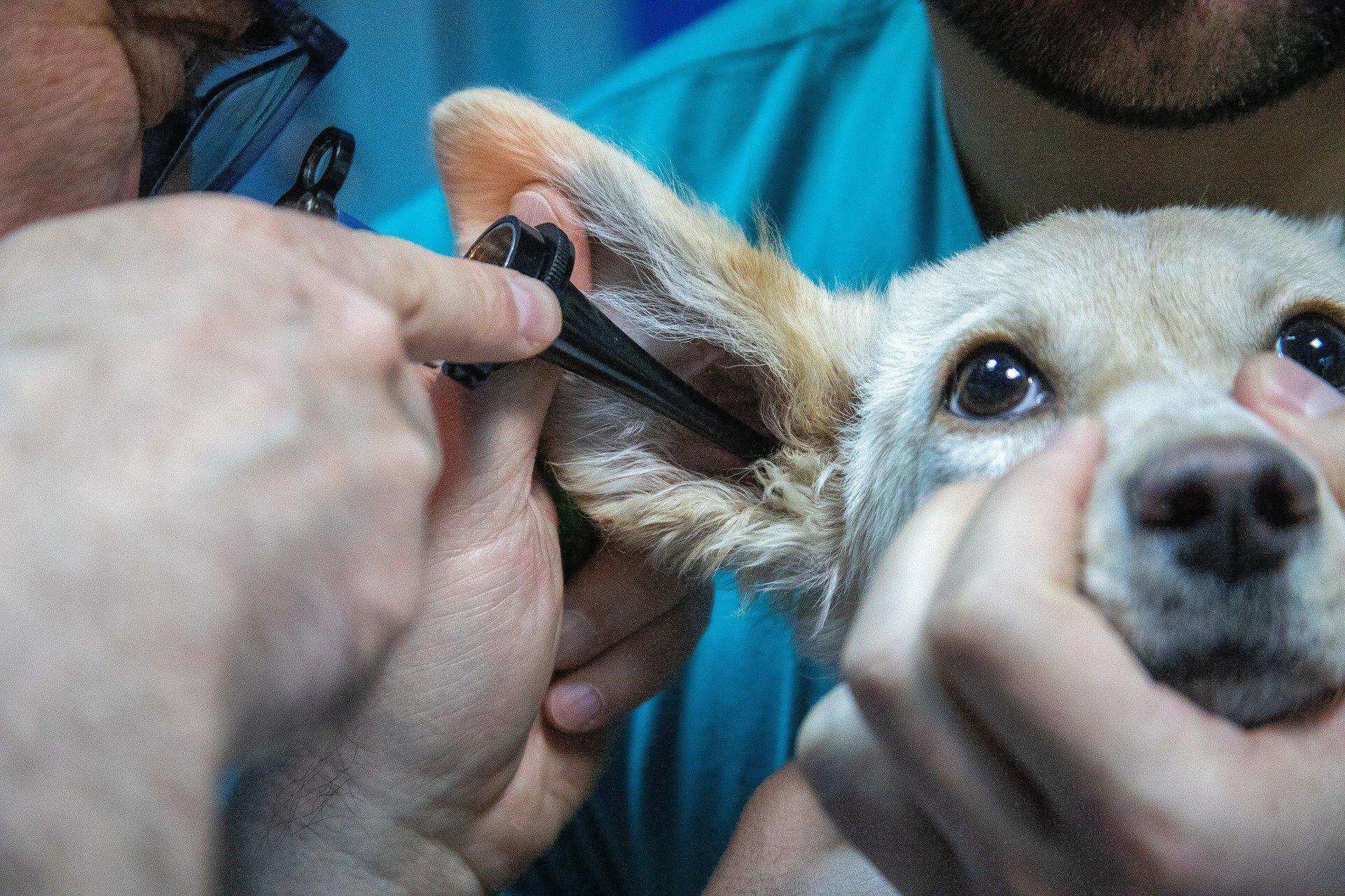 Infekcia ucha psa je najčastejšie spôsobená chladnými a vlhkými podmienkami.