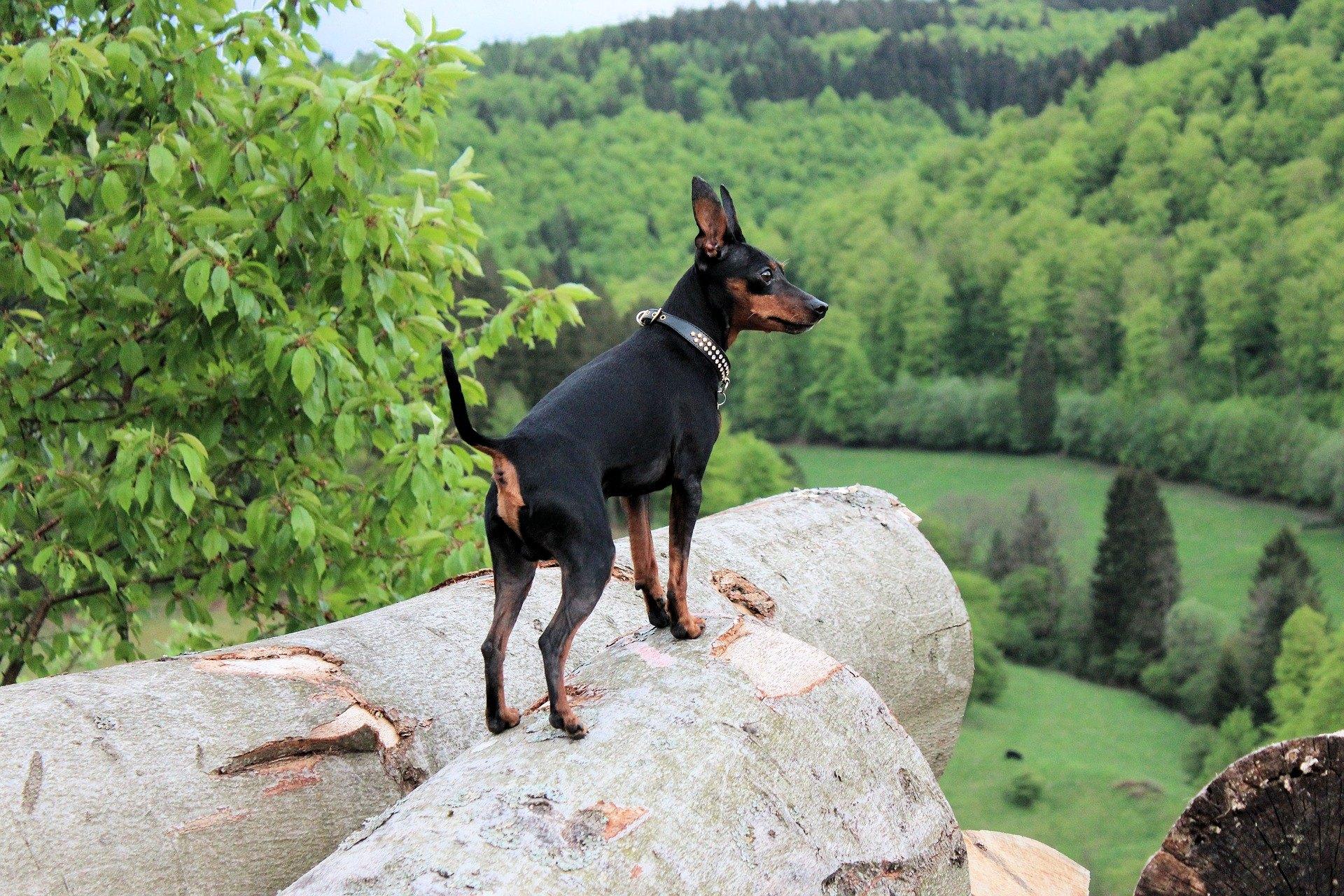 Miniatúrny pinč, všeobecne známy ako ratlík, je malý, aktívny a energický pes.
