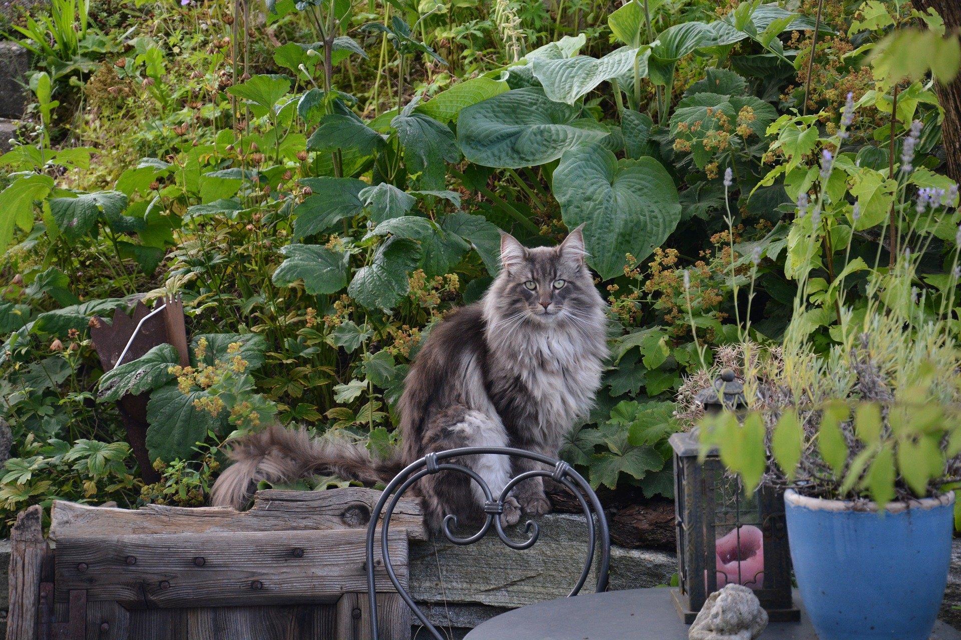Nórska lesná mačka je zviera atraktívneho vzhľadu, vynikajúcej pohyblivosti a skvelého prispôsobenia sa meniacim podmienkam.