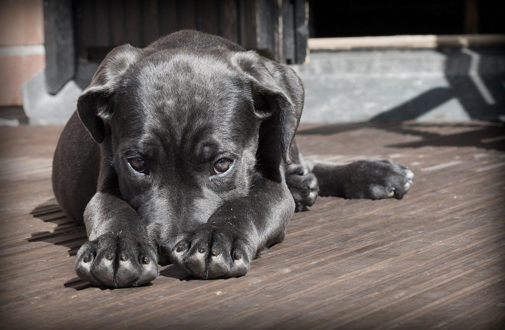 Cystitída u psa je pomerne neškodné ochorenie, ale ak sa zanedbá, môže viesť k vážnym komplikáciám.