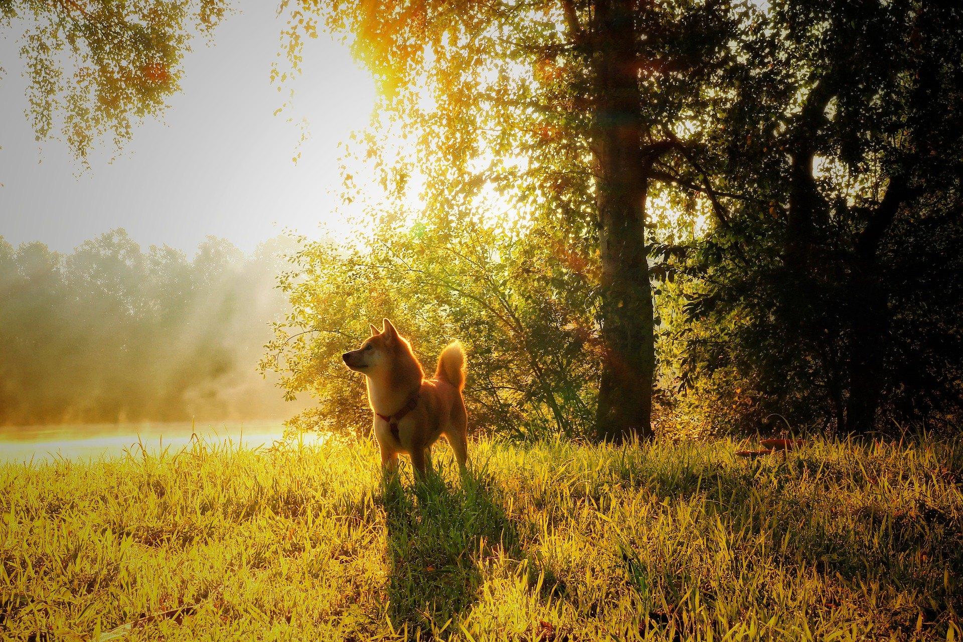 Shiba je pes z ďalekého východu. Je to stredne veľký špic so silnou stavbou a hustou plyšovou srsťou.