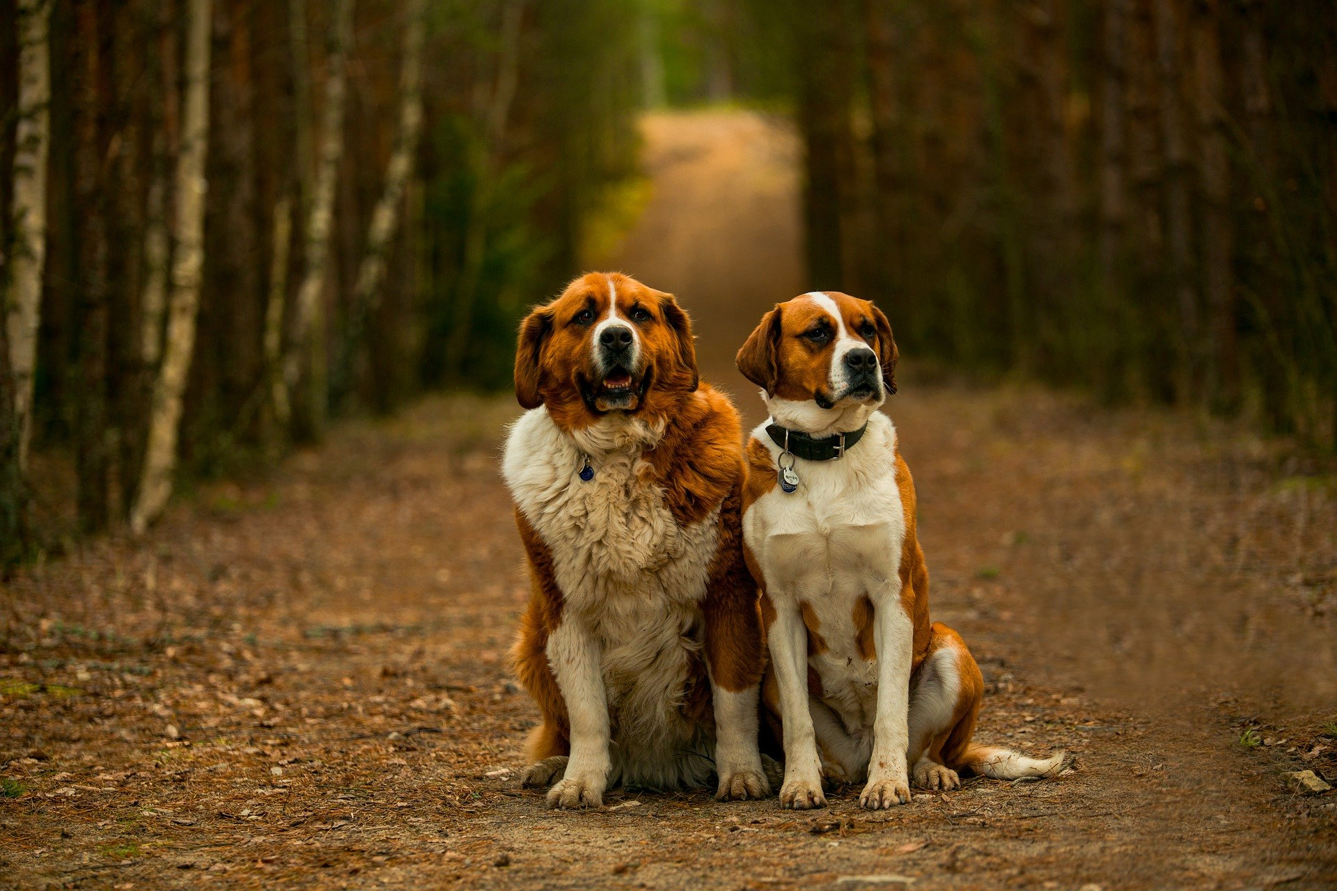Bernardín je pes pôsobivej veľkosti, ktorý vykazuje miernu fyzickú aktivitu, je prítulný, rodinný a inteligentný.