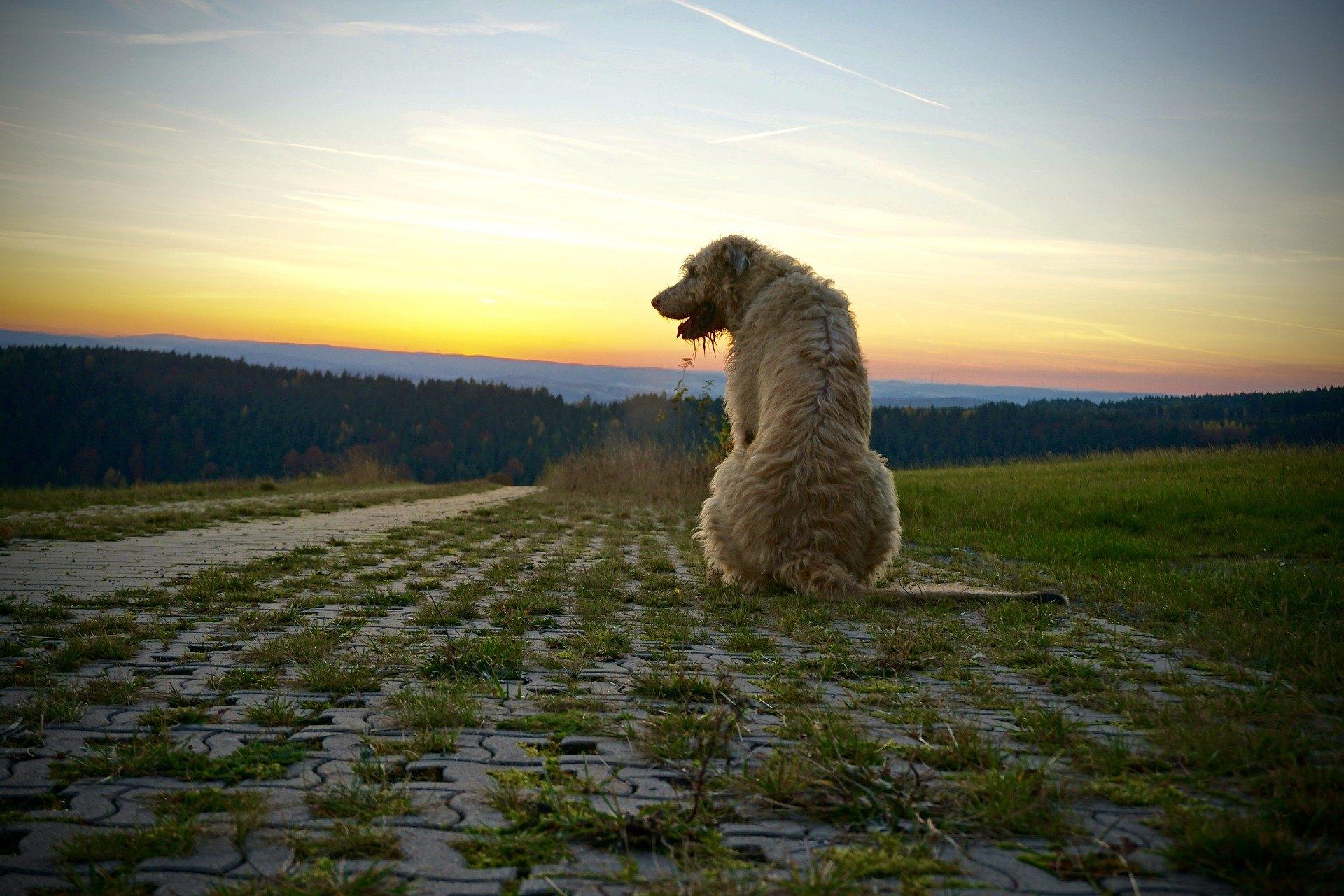 Írsky vlkodav, napriek tomu, že je to silný a elegantný pes, sa vyznačuje citlivosťou a oddanosťou.