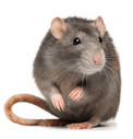Klietky pre potkany